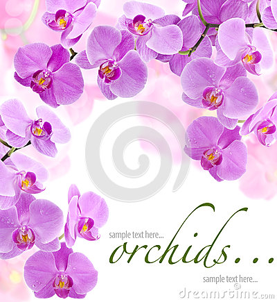 Free Orchid Flowers Royalty Free Stock Photography - 24703637