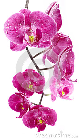 Free Orchid Flowers With Water Drops Stock Images - 25090604