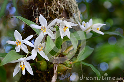 Orchid in the forest (Coelogyne nitida)