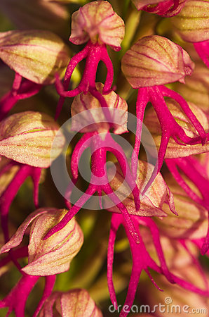 Free Orchid Hybrid Flower Detail - Orchis X Bivonae Royalty Free Stock Images - 52698349