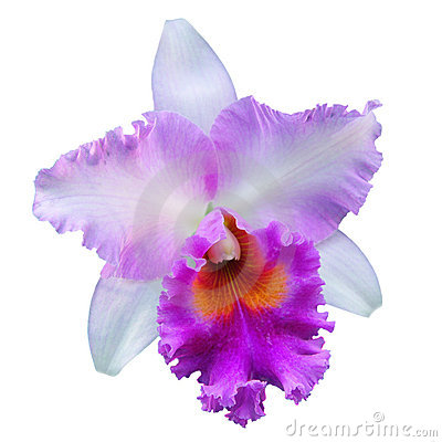 Free Orchid Isolated Royalty Free Stock Photography - 13302087