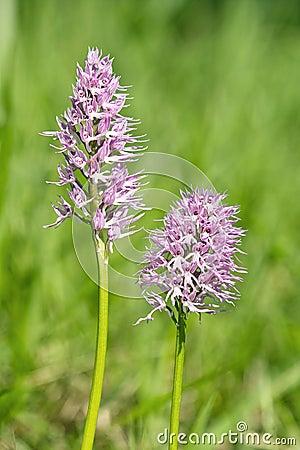 Orchid italic