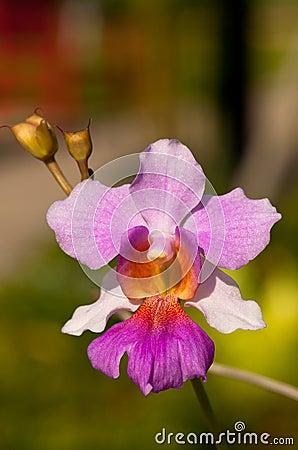 Free Orchid Macro (Vanda Miss Joaquim) Royalty Free Stock Image - 16246776