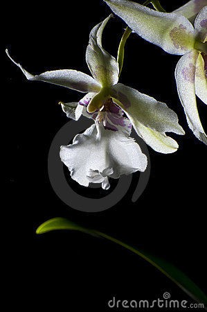 Free Orchid On Black Royalty Free Stock Image - 17471736