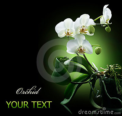 Free Orchid Over Black Royalty Free Stock Photography - 17328487
