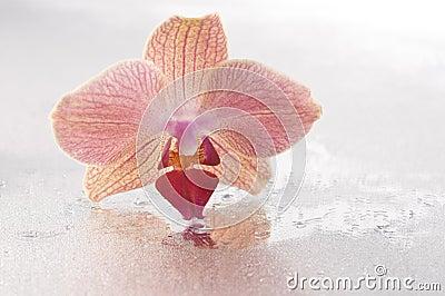 Orchid phalaenopsis flower