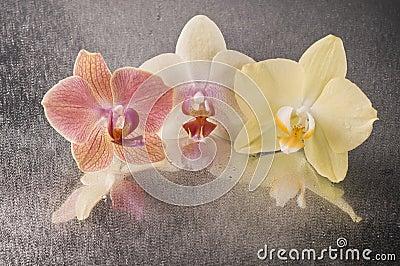 Orchid phalaenopsis flowers