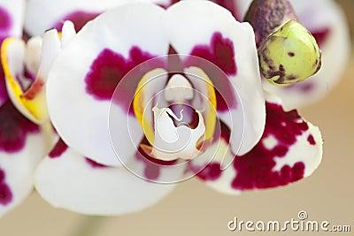 Orchid - Phalaenopsis-Hybrid