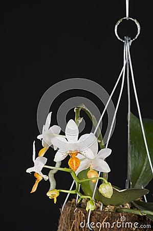 Orchid phalaenopsis hybrid over black