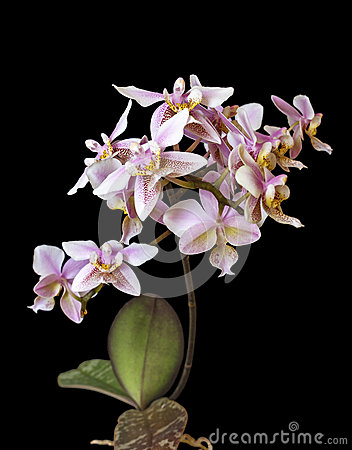 Free Orchid Phalenopsis Mini White Pink Color On Black Background Stock Photo - 49130400
