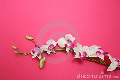 Orchid on pink