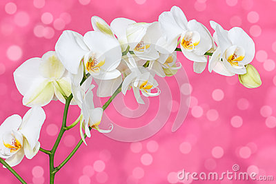 Orchid on the pink background