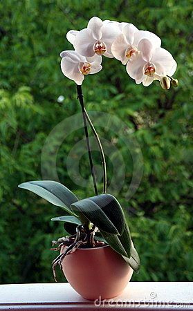 Free Orchid Plant Royalty Free Stock Photography - 14985347
