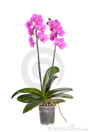 Free Orchid Pot Flower Royalty Free Stock Photo - 22919895
