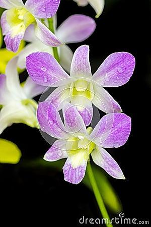 Orchid purple color Thai species
