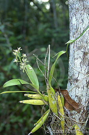 Orchid species Encyclia
