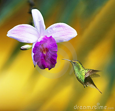 Free Orchid With Hummingbird Stock Photos - 5857763