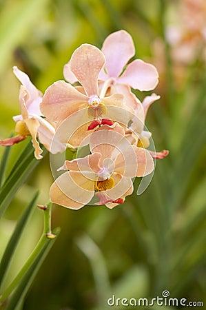 Orchidea della pesca fotografia stock immagine 62933303 for Orchidea foglie gialle