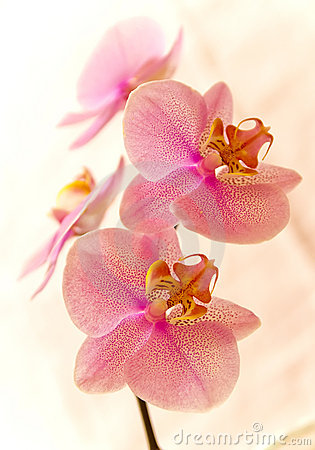 Free Orchidee Stock Images - 9287784