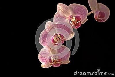 orchidee phalaenopsis royalty free stock photos image. Black Bedroom Furniture Sets. Home Design Ideas