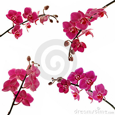 Free Orchids Royalty Free Stock Images - 1297099