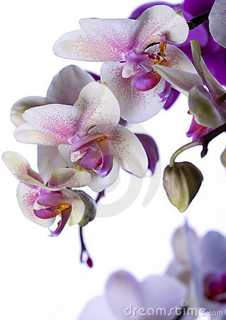 Free ORCHIDS Royalty Free Stock Image - 2330336