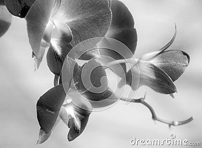 Orchids Black White