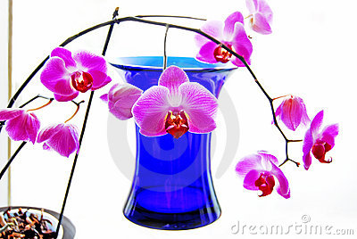 Orchids and blue vase