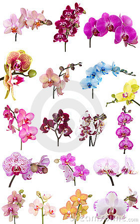 Free Orchids Flowers Phalaenopsis Orchid Flower Royalty Free Stock Image - 18671256
