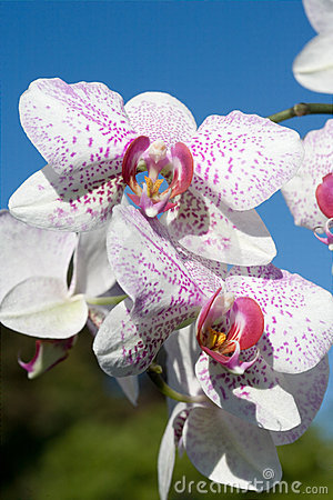 Free Orchids - Phalaenopsis-Hybrid Royalty Free Stock Image - 2655086