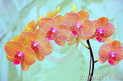 Orchids sonata
