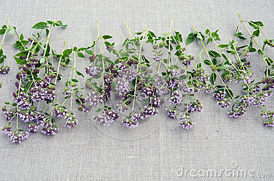 Oregano herb origanum vulgare on linen cloth