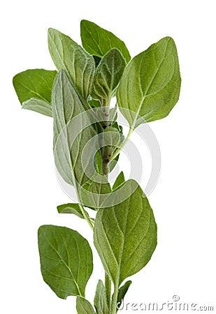 Oregano Herbs Isolated