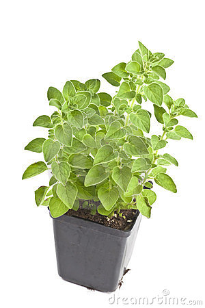 Mir here too - Page 6 Oregano-plant-23994125