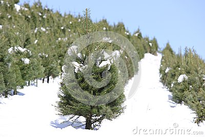 Oregon Tree Farm In The Snow