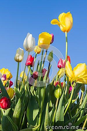 Free Oregon Tulips Stock Image - 39789701