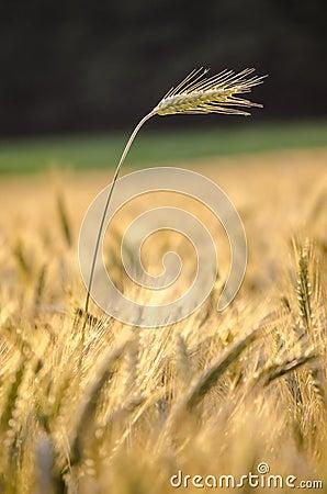 Orelha do trigo que está fora do campo de trigo