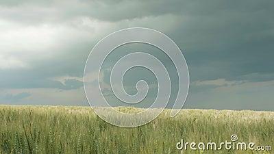 Orelhas maduras douradas do trigo que movem-se pelo vento da brisa, campo dos spikelets no fundo de um céu nebuloso da chuva, la  vídeos de arquivo