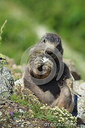 Oreo Marmot