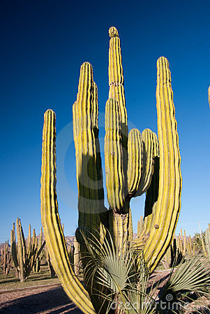 Free Organ Pipe Cactus Stock Photo - 13592770