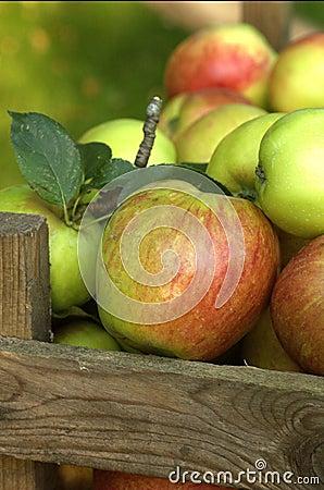 Free Organic Apples Stock Image - 1244861