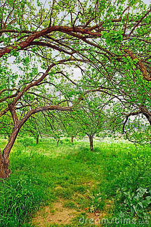 Organic apricot garden in Turkey.