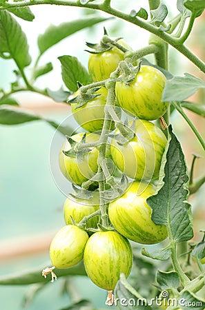 Organic cherry tomatoes on the vine