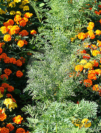 Organic companion planting carrots and marigolds.