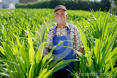 Organic Farmer looking at sweetcorn