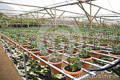 Organic Farming of Strawberries