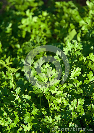 Organic Fresh Parsley In A Garden