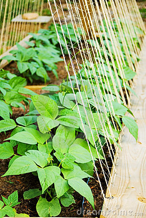 Organic Garden/Beans
