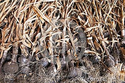 Organic Garlic Drying