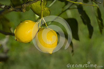 Organic lemon on the branch